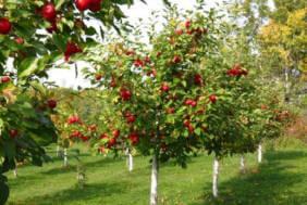 O livada de meri, cele mai dulci si delicioase fructe. POmii sunt tineri, cu mere coapte, de un rosu aprins, numai bune de cules.