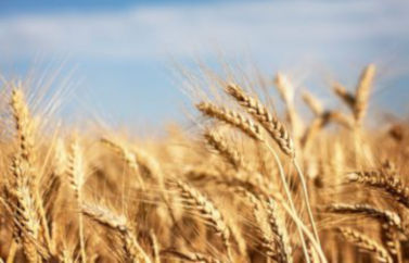 Prin serviciul de Consultanta Fonduri Europene pentru agricultura se pot obtine bani nerambursabili pentru culturi de camp, de exemplu cultivare de grau.