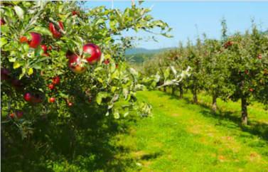 Livada de meri care au fost innoiti (livada intinerita): merele atarna coapte, rosii, apetisante. POmii sunt aranjati in linie, pe randuri, su spatiu intre ei. Pentru astfel de proiecte se primesc fonduri europene pentru pomicultura.