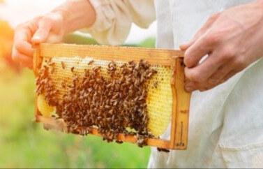 Sprijin pentru tineri fermieri fonduri europene nerambursabile pentru apicultura, crestere de albine, un fagure de miere tinut in mana aduna albinele din imprejurimi.