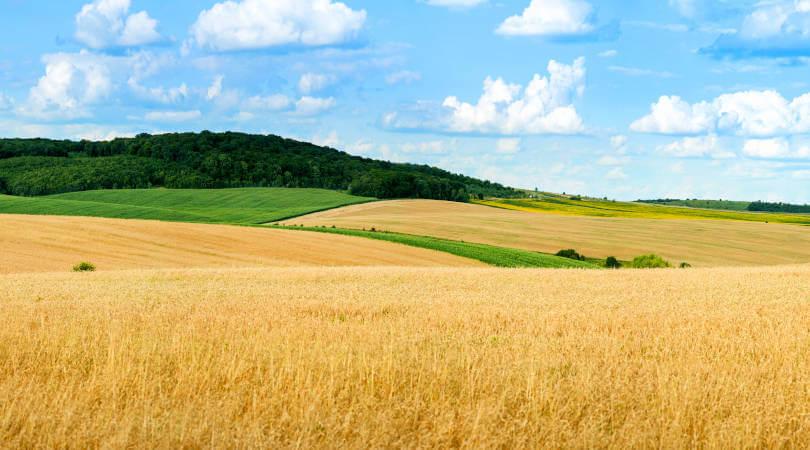 Idei de afaceri la tara - un camp cultivat cu grau, galben, in spatele caruia se zareste un deal impadurit si cerul albastru cu nori rari.
