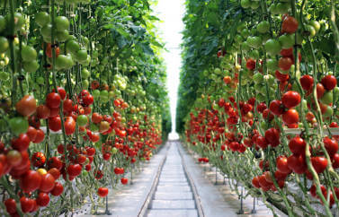 O sera de legume achizitionata cu ajutorul de fonduri europene pentru tineri fermieri: se vad rosii coapte atarnand pe tulpini verzi intr-o sera moderna.