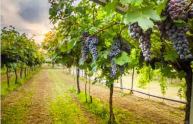 `Consultanta fonduri europene Zalau pentru porductie vin - mai simplu ca oricand. Se poate observa vita de vie viguroasa, insirata frumos pe randuri, cu ciorchine atarnand greu, coapte, parfumate si aromate.